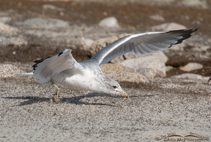 California Gull feeding on Brine Flies 8