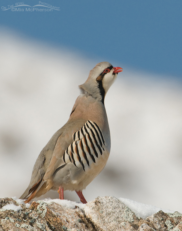 Chukar calling on a snow-covered rock