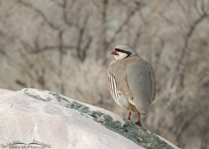 Chukar on a rock