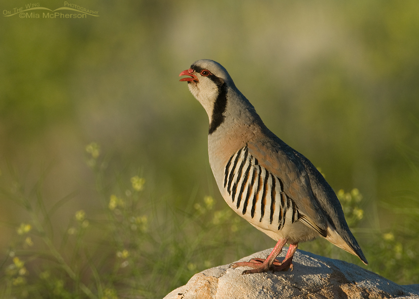 Chukar calling in early morning light with Black Mustard in the background