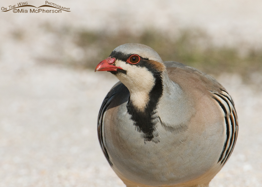 Close up of a Chukar