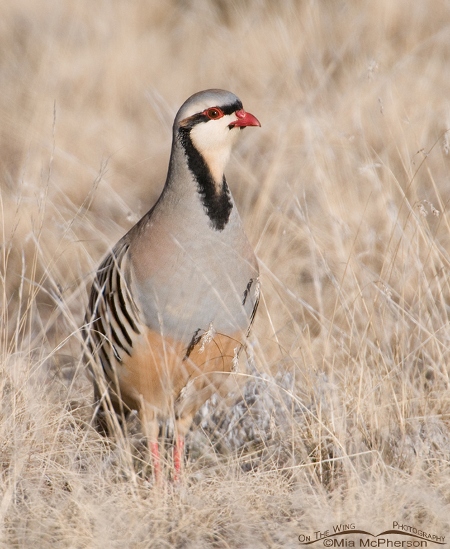 Chukar in grasses