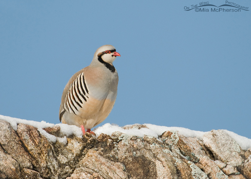 Chukar on snowy hilltop