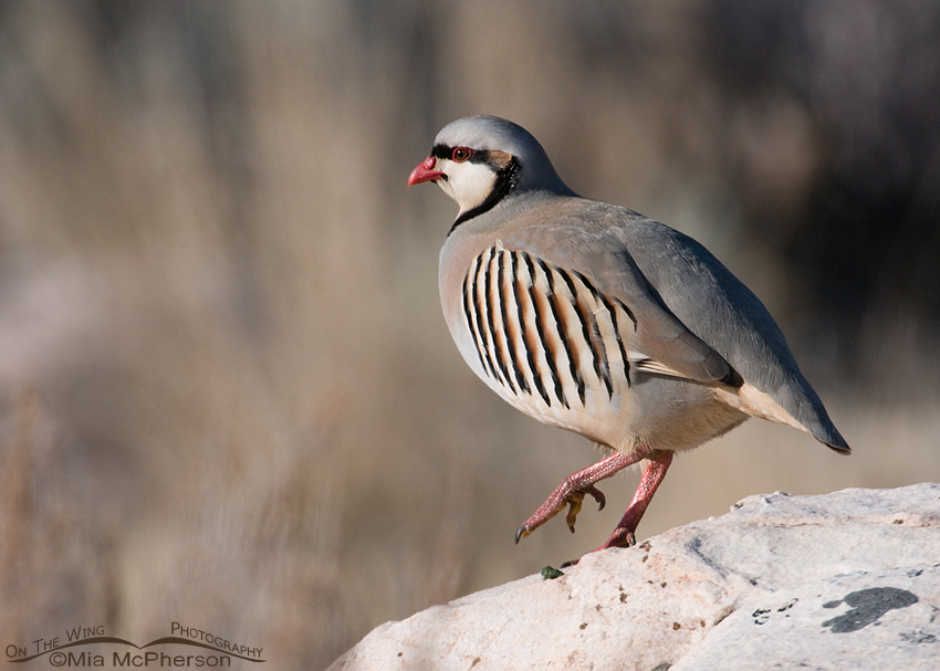 Chukar on the rocks