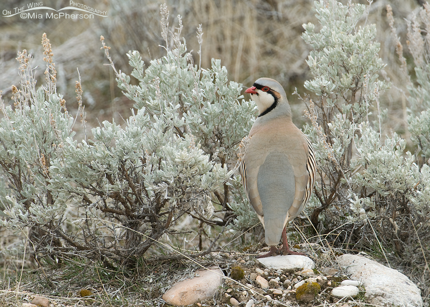 Chukar in sagebrush