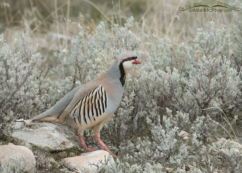 Chukar walking through Sagebrush