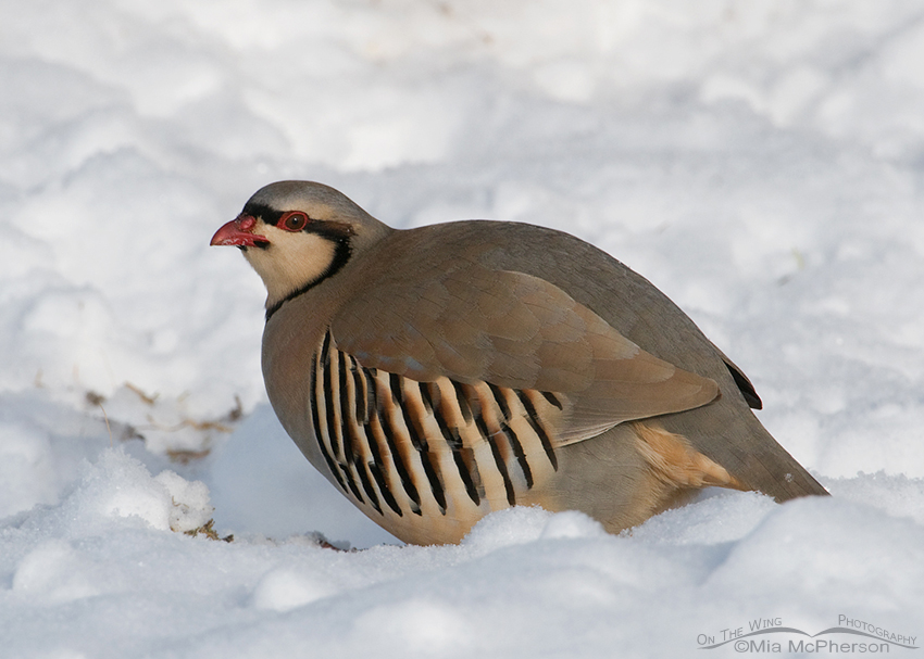 Plump Chukar in the snow