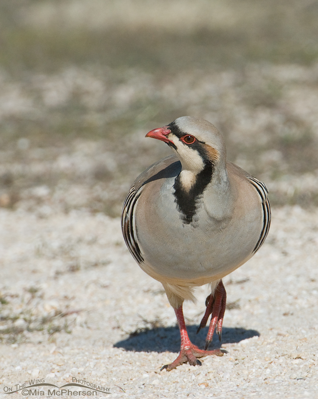 Chukar on gravel