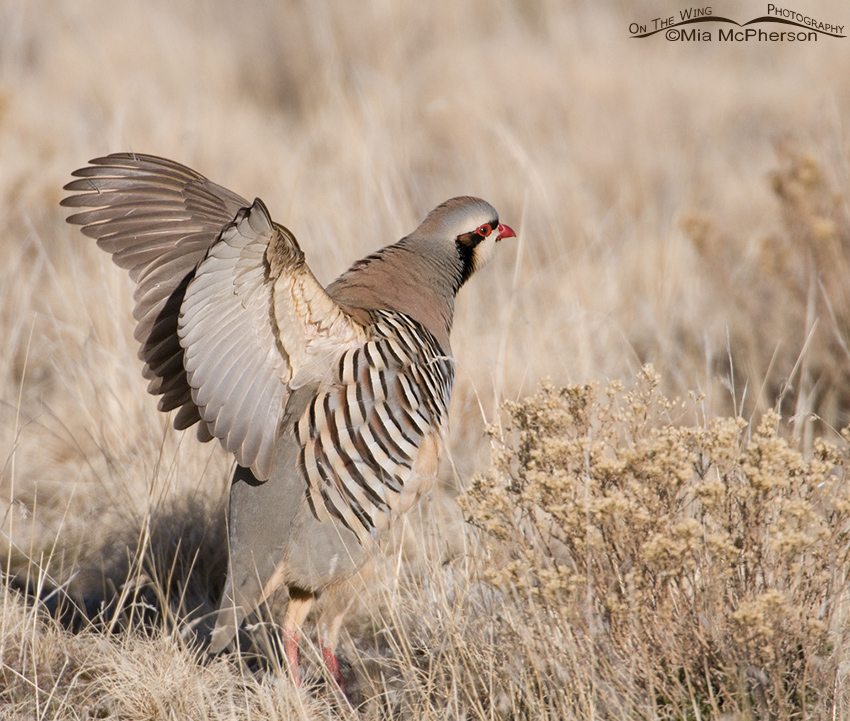 Chukar wing flap