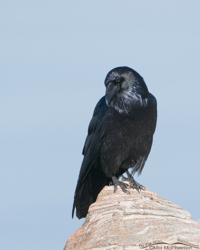 Common Raven on the causeway to Antelope Island