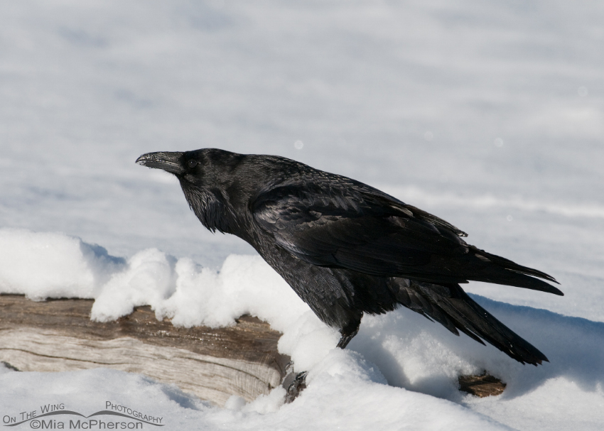 Calling Common Raven in snow