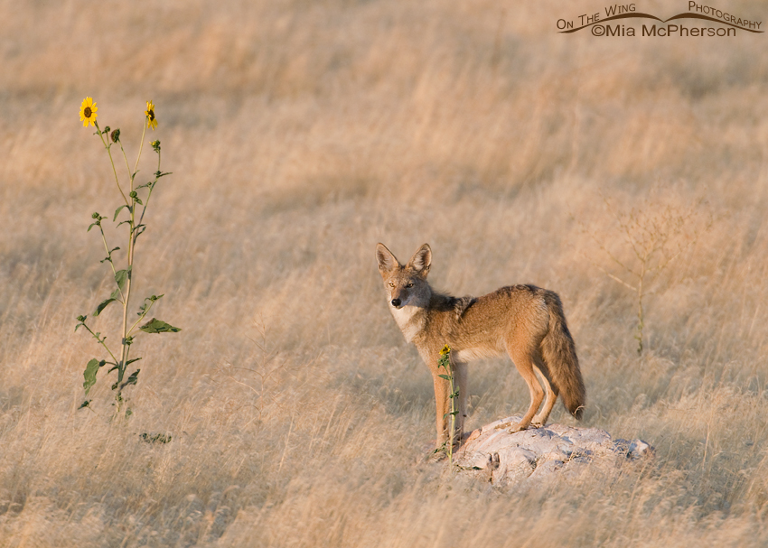 A Coyote and Sunflowers