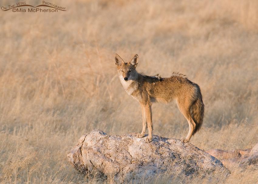Coyote in the golden light of dawn