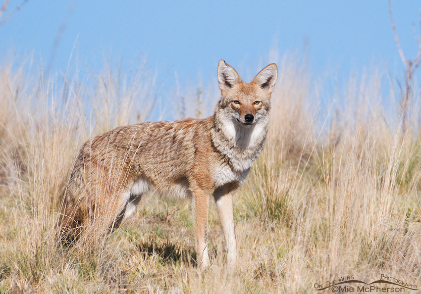 Coyote on a hilltop
