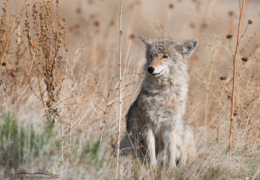 Scruffy Coyote just waking up