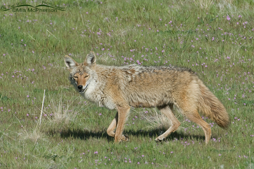 Coyote starting to lose its winter coat