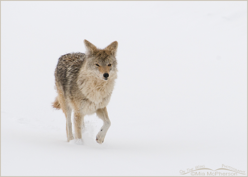 Coyote running in drifts of snow