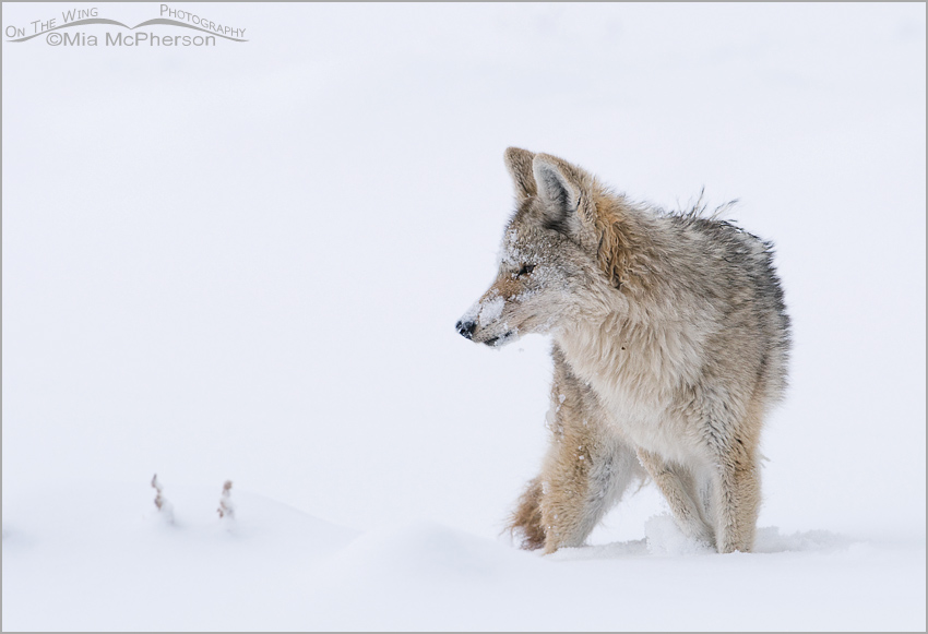 Coyote in a whiteout