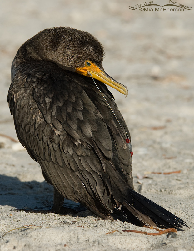 Double-crested Cormorant with hook, line and sinker