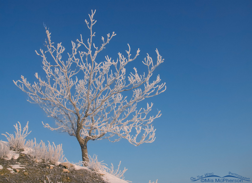 A hoar frost covered tree