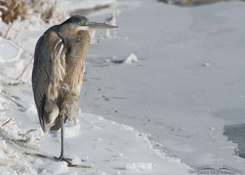 Great Blue Heron on ice with ice