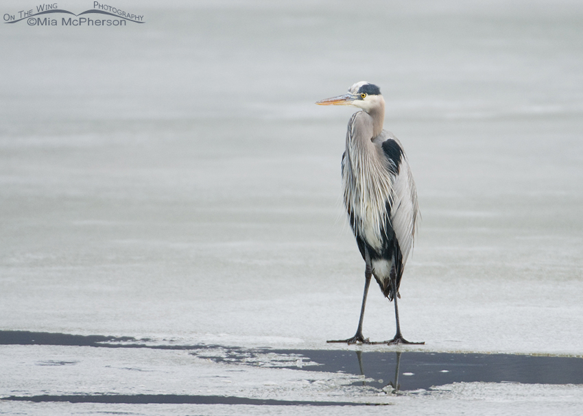 Great Blue Heron on thin ice