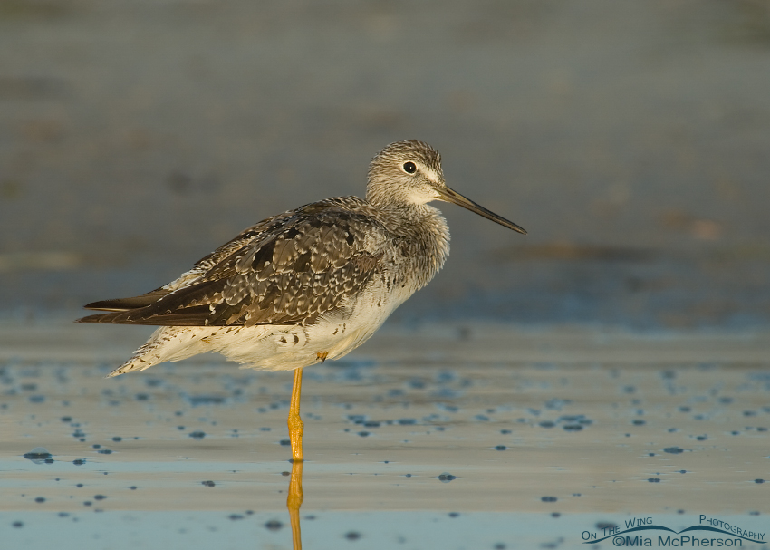 Resting Greater Yellowlegs (Tringa melanolueca)