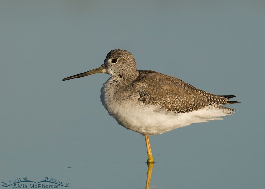Greater Yellowlegs (Tringa melanolueca) in a quiet lagoon