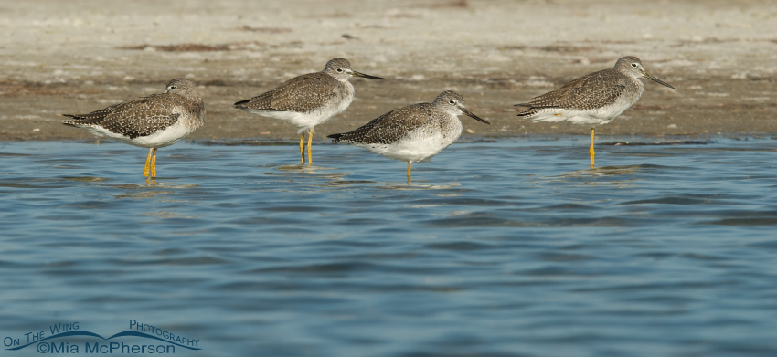 Four Greater Yellowlegs resting