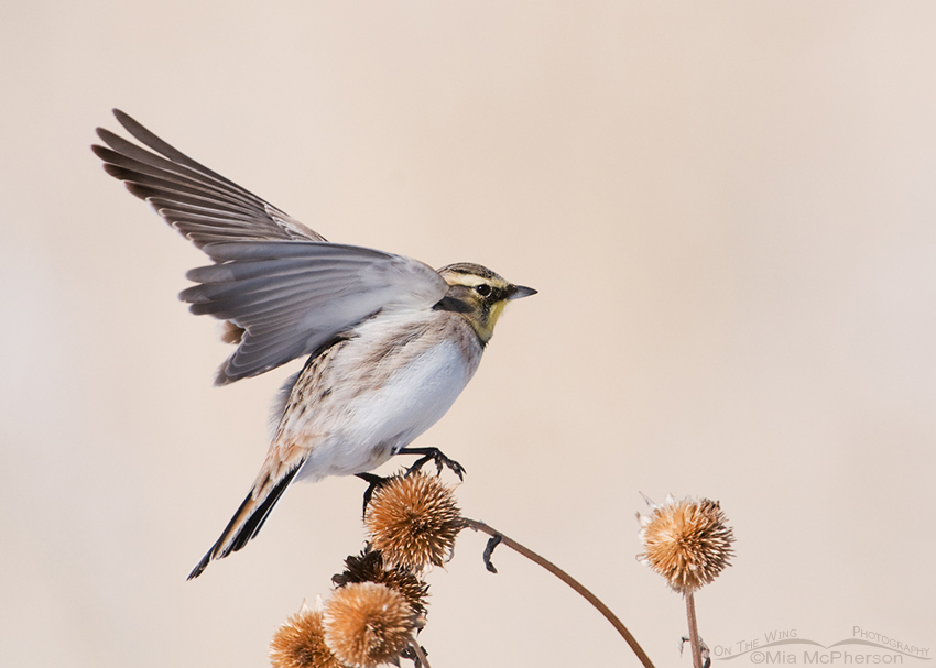 Female Horned Lark (Eremophila alpestris) balancing on a Sunflower seed head