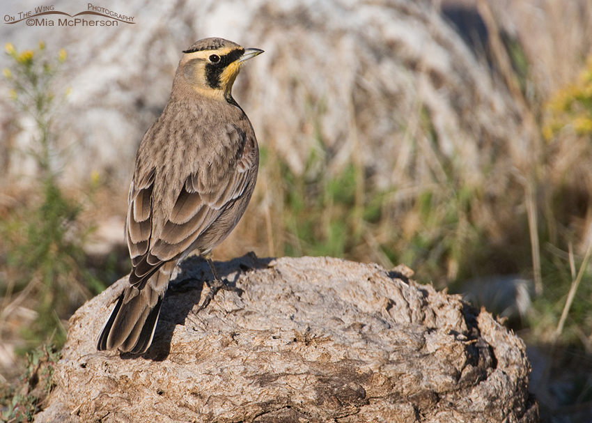 Horned Lark on a poopy perch