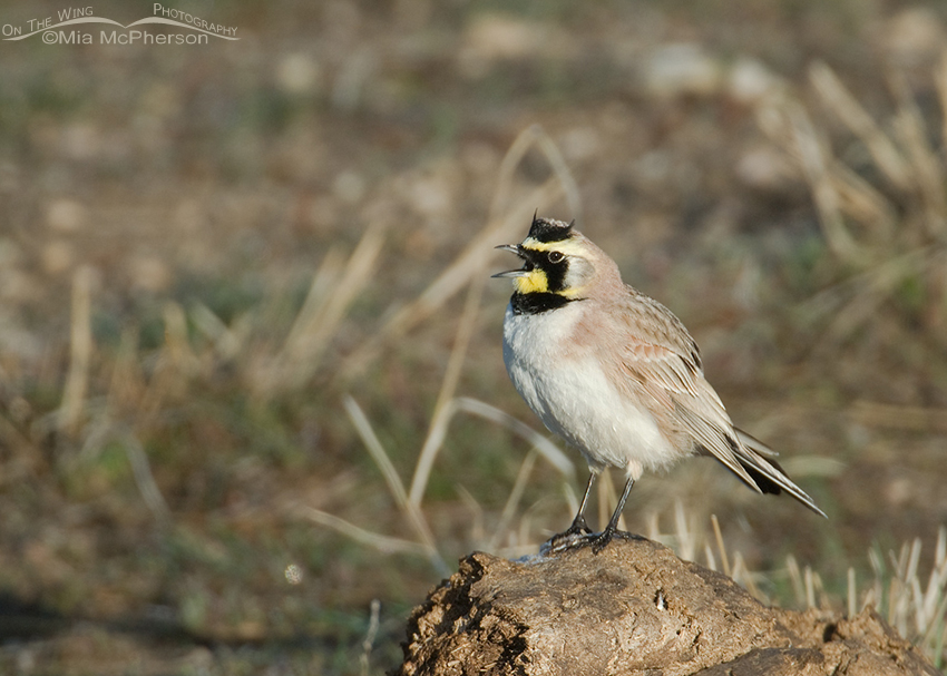 Horned Lark perched on Bison manure