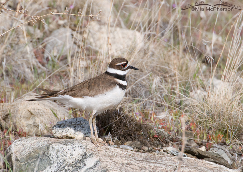 Alert Killdeer