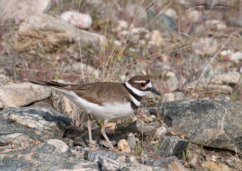 Killdeer on a rocky slope