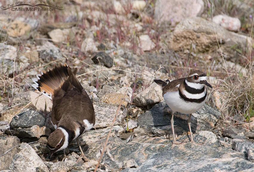 A Pair of Killdeer near the scrape