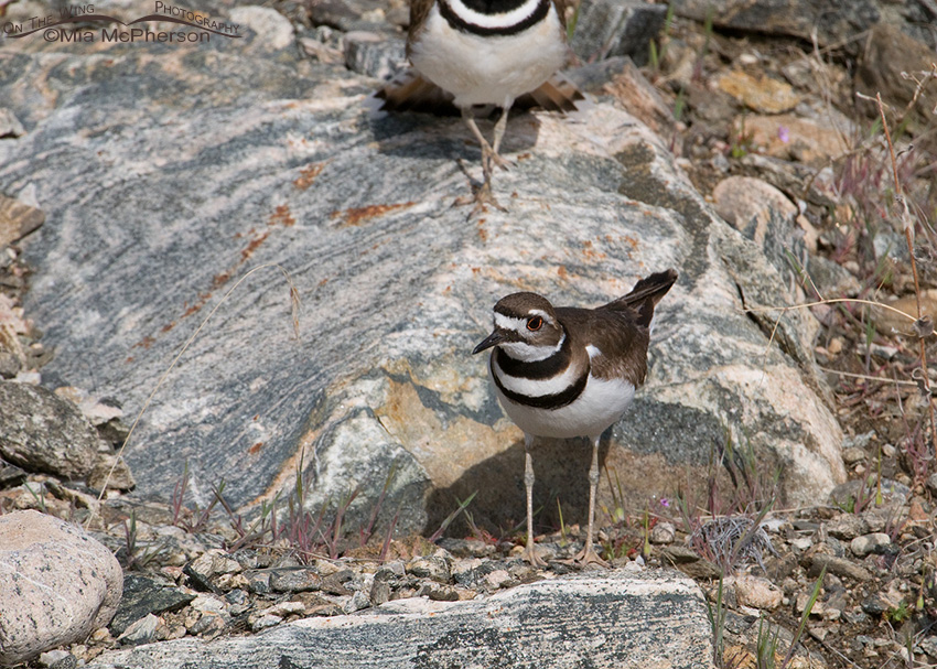 Killdeer on a small rocky ledge