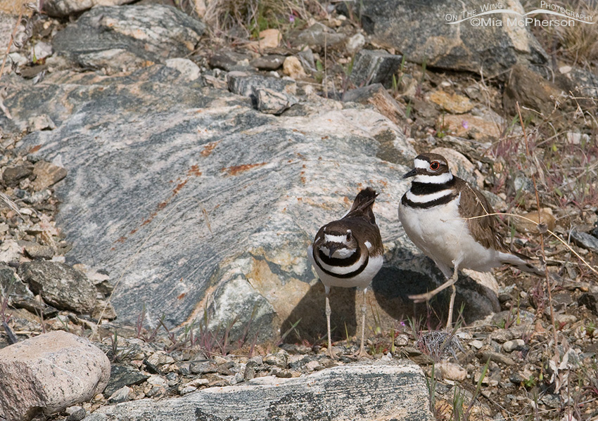 Male and female Killdeer