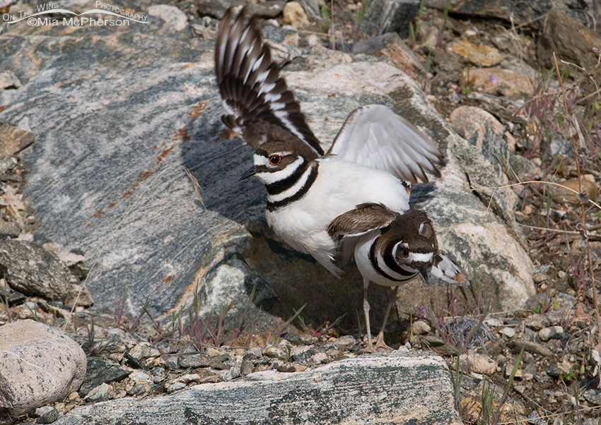 Male Killdeer dismounting