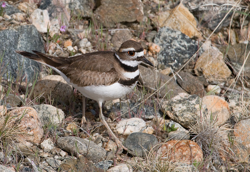Female Killdeer after mating