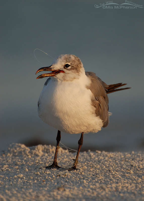 Laughing Gull with fishing line in & hook in bill with feet tangled