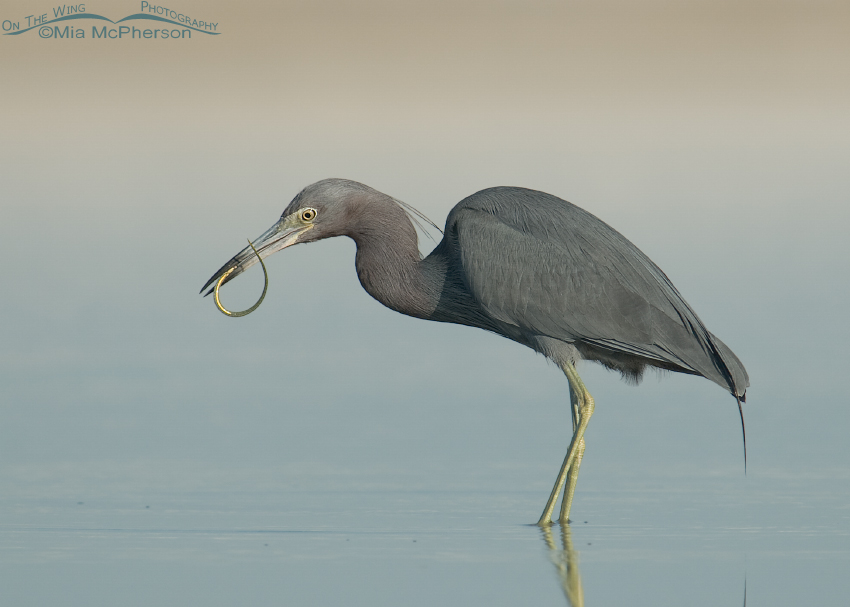 Little Blue Heron with Pipefish in its bill