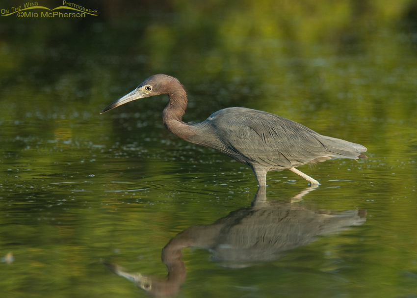 Little Blue Heron in green water