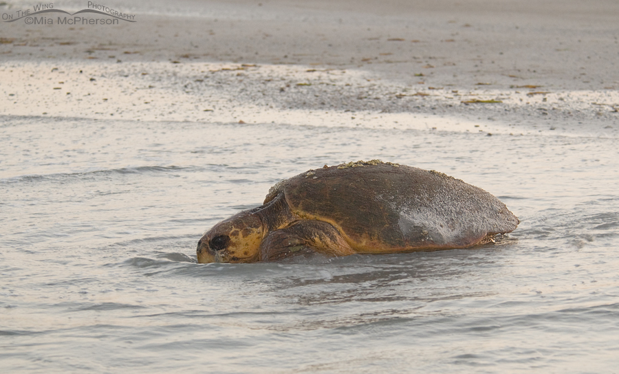 Female Loggerhead Turtle in the surf