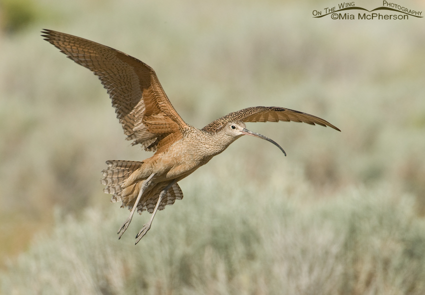 Landing adult Long-billed Curlew