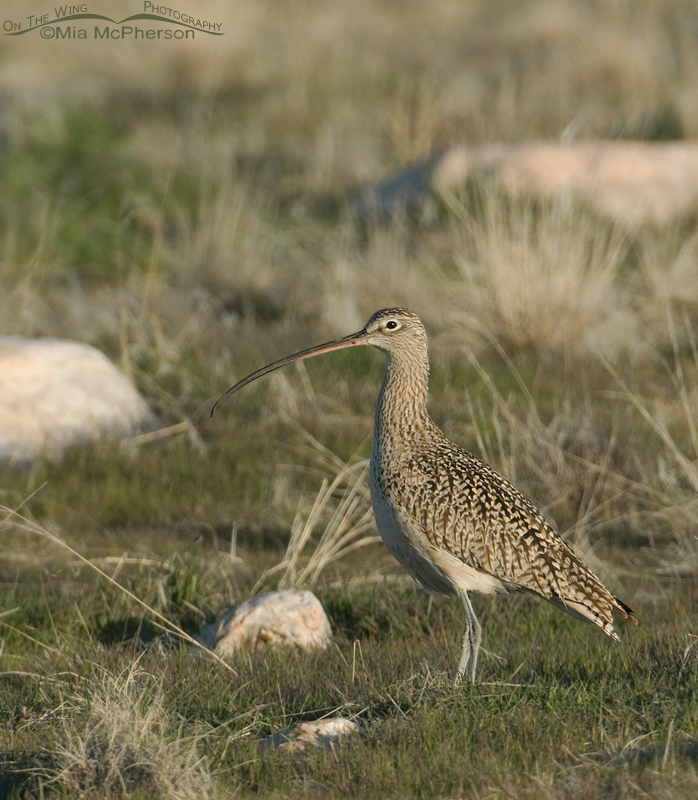Curlew in the grasslands