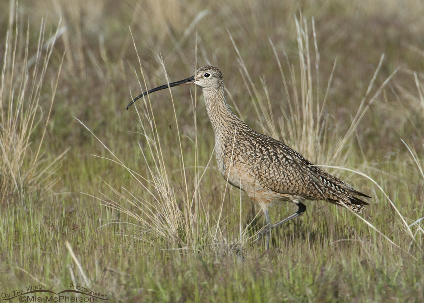 Long-billed Curlew hunting