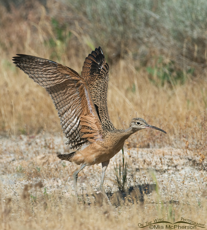 Juvenile Long-billed Curlew