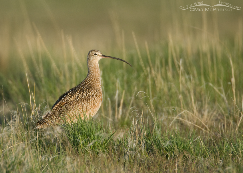 Male Long-billed Curlew