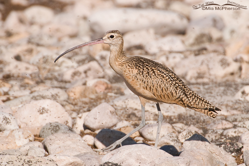 Long-billed Curlew on the rocks