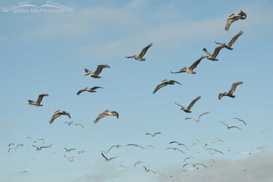 Mixed flock of Brown Pelicans, Black Skimmers, Gulls and Terns